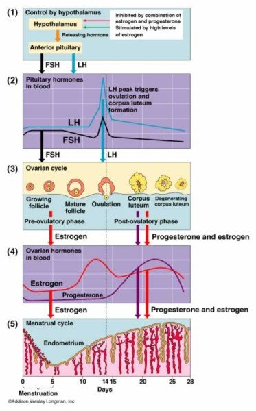 chart representation of hormonal levels and effects during menstrual cycle