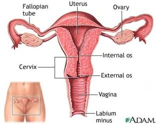 a diagram of the uterus, ovaries, cervix and vagina
